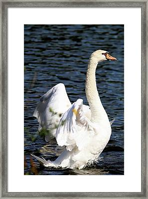 Swan Stretching Its Wings Framed Print by Carol R Montoya
