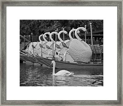 Swan Swimming Up With Some Friends Black And White Framed Print