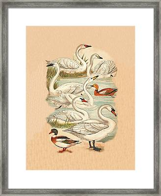 Swans And Ducks Framed Print by Eric Kempson