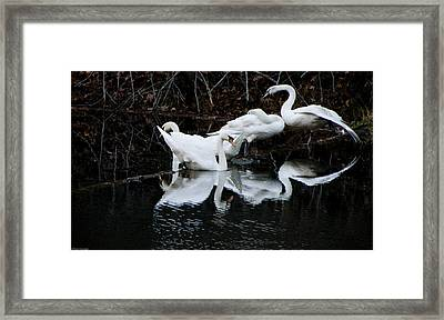 Swans And Snow Geese Framed Print