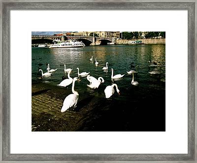 Swans Framed Print by Ariane Moshayedi