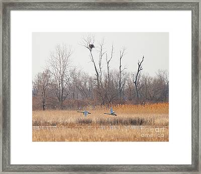 Swans Fly By Eagles Nest  8779 Framed Print by Jack Schultz