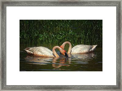 Swans In A Pond  Framed Print