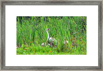 Swans' In Hiding Framed Print by Lisa Wooten