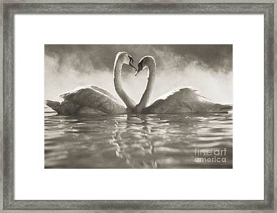 Swans In Lake Framed Print by Brent Black - Printscapes