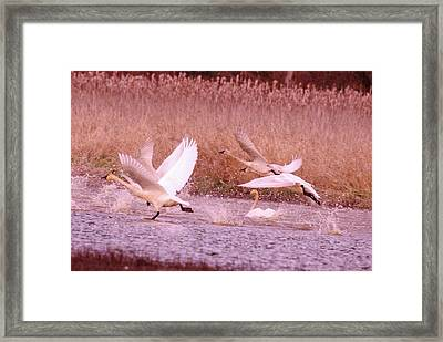 Swans In Take Off  Framed Print by Jeff Swan