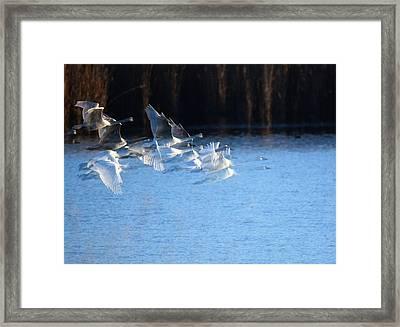 Swans Framed Print by John Adams