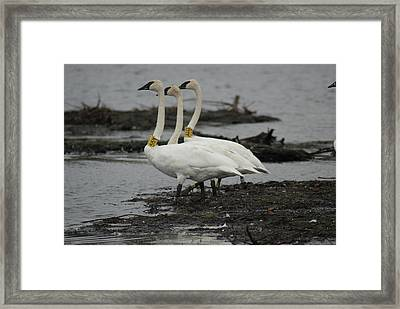 Framed Print featuring the photograph Swans Line Dancing by Ron Read