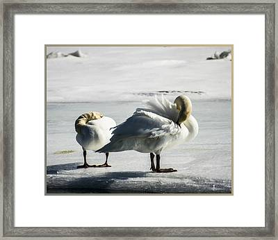 Swans On Ice Framed Print