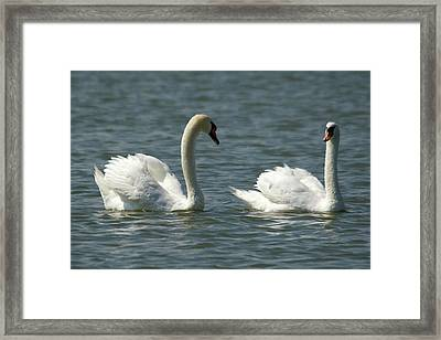 Swans On Lake  Framed Print
