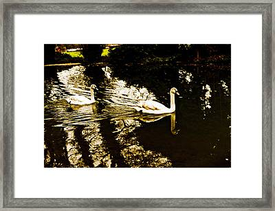 Swans On River Wey Framed Print by Patrick Kain