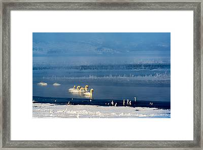 Swans On The Lake Framed Print by TL Mair