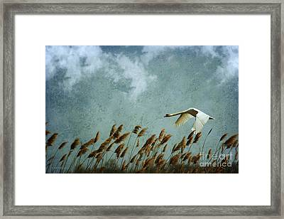 Swans Rule The Marshlands Framed Print by Beve Brown-Clark Photography