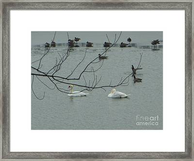 Swans With Geese Framed Print