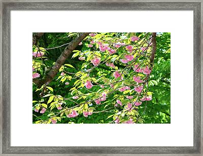 Sweeping Cherry Blossom Branches Framed Print