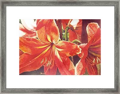 Sweet Amaryllis Framed Print by Marion  Hylton