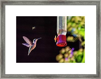 Sweet Battle Framed Print by Steve Harrington