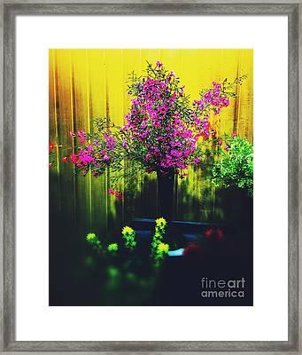 Sweet Boronia Framed Print by Blair Stuart