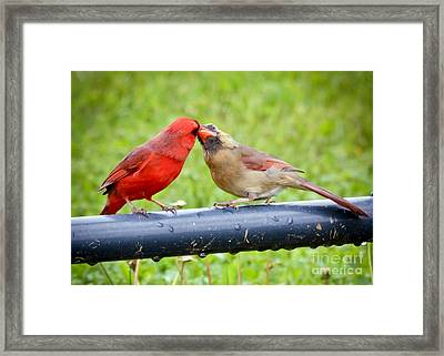 Sweet Cardinal Couple Framed Print