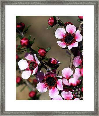 Sweet Cherry Framed Print by Baggieoldboy