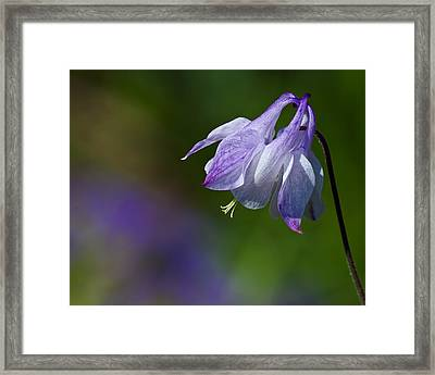 Sweet Columbine Framed Print by Margaret Barry