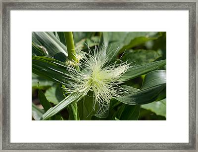 Sweet Corn Framed Print by Dawn OConnor