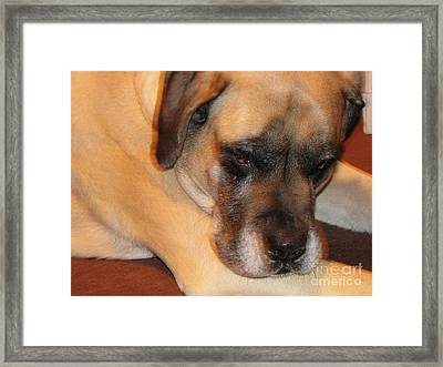 Sweet English Mastiff Dog Framed Print