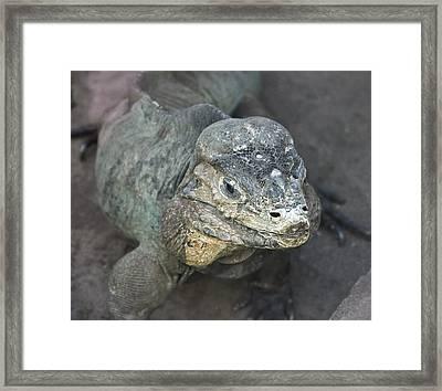 Framed Print featuring the photograph Sweet Face Of Rhinoceros Iguana by Miroslava Jurcik
