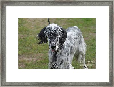 Sweet Faced Black And White English Setter Framed Print