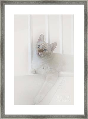 Sweet Flame Point Siamese Framed Print