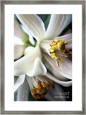 Sweet Fragrance 2 Framed Print