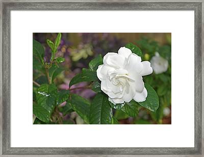 Sweet Gardenia Framed Print