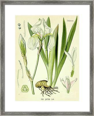 Sweet Iris  Framed Print by German School