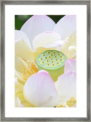 Sweet Lotus Framed Print