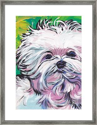 Sweet Maltese  Framed Print