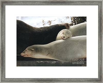 Sweet Nap Time Framed Print by Carol Groenen