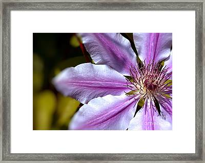 Framed Print featuring the photograph Sweet Nelly Clematis by Baggieoldboy