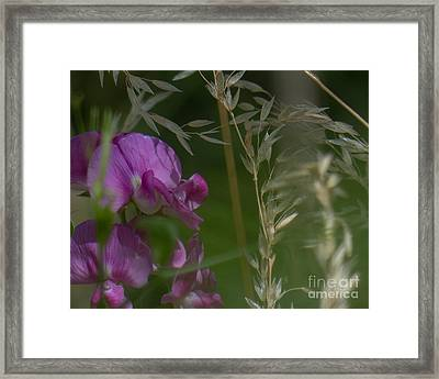 Sweet Pea 1 Framed Print