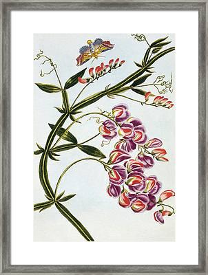 Sweet Pea Framed Print by Pierre-Joseph Buchoz