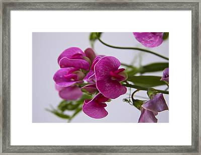 Sweet Pea Framed Print