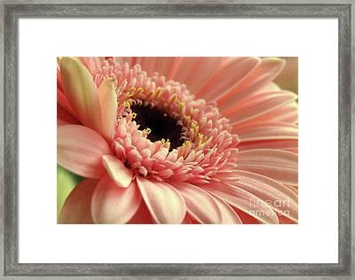 Sweet Peach Gerbera #2 Framed Print