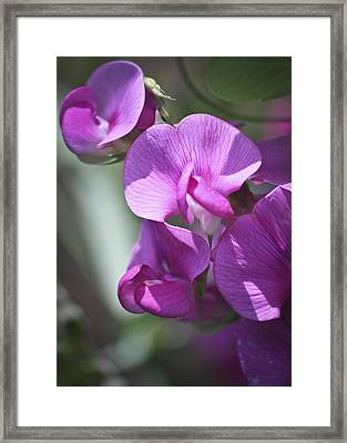 Sweet Peas Framed Print by Teresa Mucha