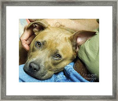 Sweet Pit Bull . Face Of Love Framed Print by Renee Trenholm