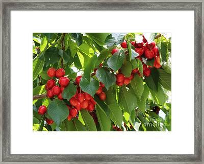 Sweet Red Cherries Framed Print by Carol Groenen
