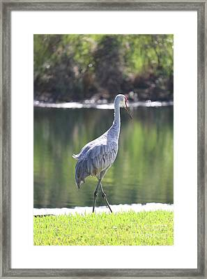 Sweet Sandhill By The Pond Framed Print by Carol Groenen