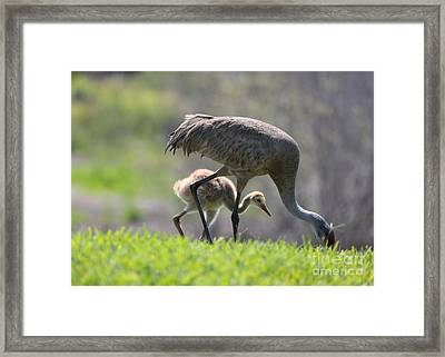 Sweet Sandhill Chick With Mom Framed Print by Carol Groenen