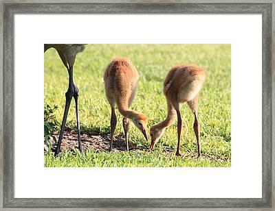 Sweet Sandhill Siblings Framed Print by Carol Groenen