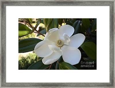 Sweet Southern Magnolia Framed Print by Carol Groenen