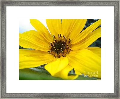 Sweet Sunflower Framed Print by Sonya Chalmers