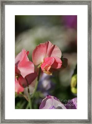 Sweet Sweet-peas Framed Print